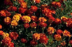 Blooming marigold photo