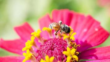 Closeup of Bee sucking nectar from a flower stock photo