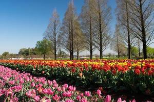 Tulip Akebonoyama park