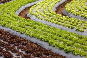 Curved organic vegetable field photo