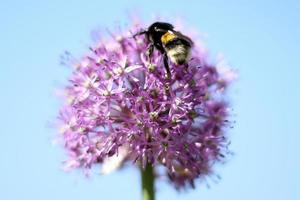 Bumble-bee sitting on flower photo