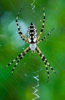 araña de jardín foto