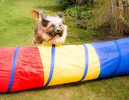 Dog Agility with jumping Tibetan Terrier
