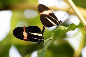 apareamiento par de mariposas foto