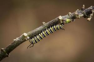 catterpillar monarca
