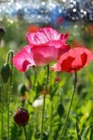 Poppy flowers in the garden