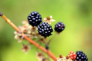 blackberries on a bush in the garden photo