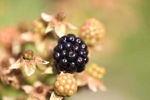 blackberries garden organic farm products summer autumn wild berry photo
