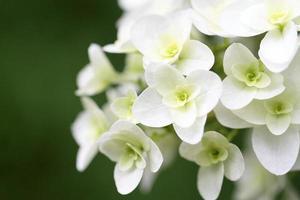 hermosa hortensia de hojas de roble foto