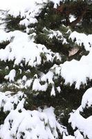 Winter scene, snow on pine branches.