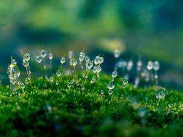 Closeup of dewdrops on Moss Head