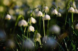 flores de copos de nieve de primavera - leucojum vernum carpaticum foto
