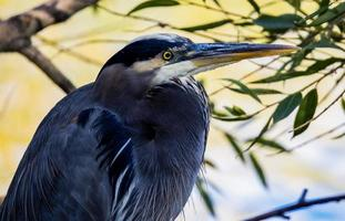 Close-up of blue heron
