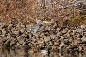 Grey heron on brown and gray rocks