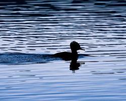 pato negro nadando