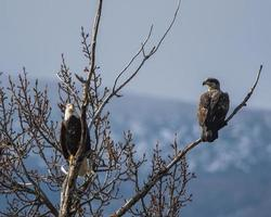 Photo of eagles perched on tree