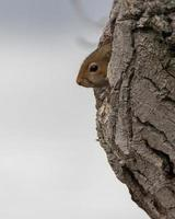 Small brown squirrel