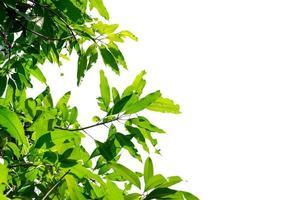 Mango tree leaves photo