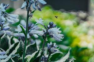 Bee flying near white flowers