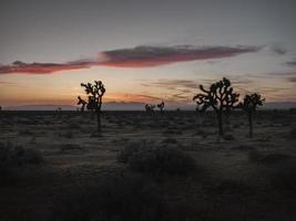 Joshua trees at sunset photo
