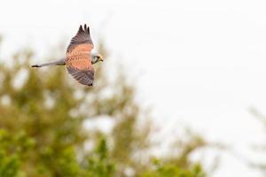 Common kestrel hunting photo