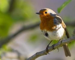 Robin redbreast perched on a tree branch