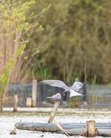 Two common terns feeding