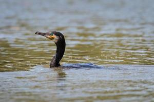 Cormorant on lake
