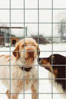 Two dog standing over gray fence photo