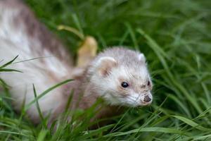 Ferret with muddy nose
