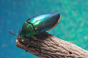 Insecto buprestidae sobre fondo azul.