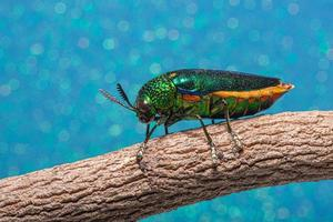 Insecto buprestidae sobre fondo bokeh