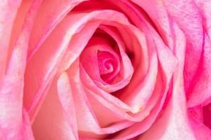 Pink rose, macro flower background