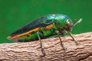 Insecto buprestidae sobre fondo verde