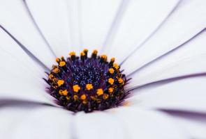 Dianthus flower, macro