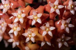 Red hoya flower close-up