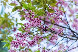 Prunus cerasoides flowers photo