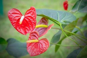 Beautiful spadix flowers