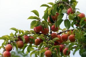 Wax cherry fruits