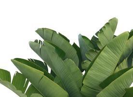 hojas de plátano verde