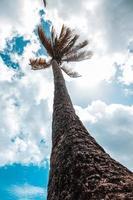 Coconut tree on Maracas Bay