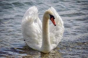 cisne blanco en el agua