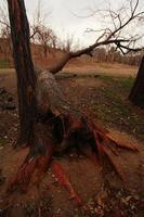 velha árvore caída no outono foto