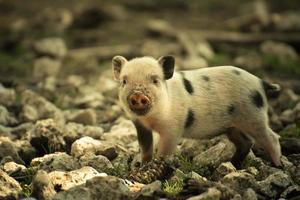 Piglet on stones
