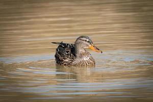 Female mallard on a lake photo