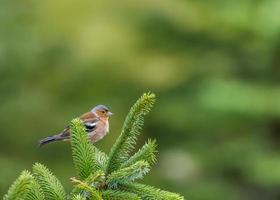 Male chaffinch bird perched on branch