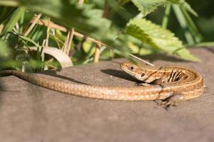 lagarto común en el sol foto