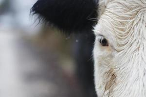 Half face portrait of a cow