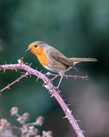 Robin on a blackberry branch