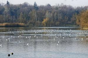Lots of birds on cold lake in winter